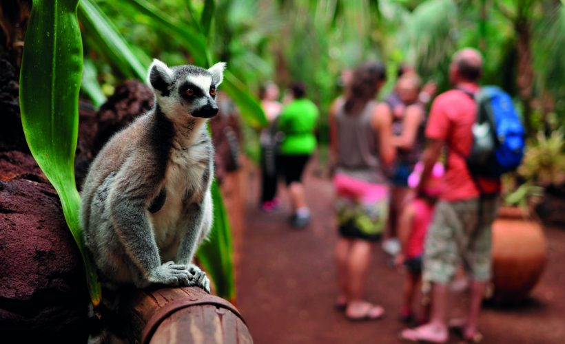 lemure Rico Canarias