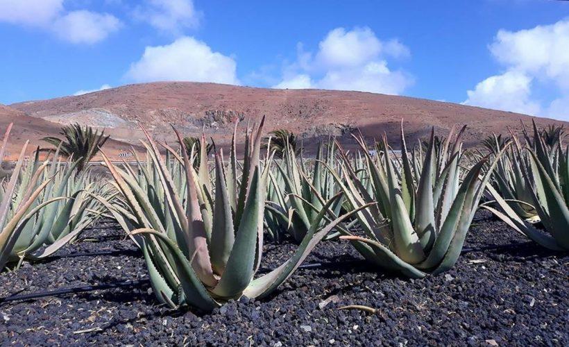 Rico Canarias – warsztaty Aloesa – 03