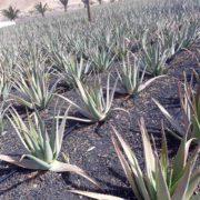 Rico Canarias – warsztaty Aloesa – 04